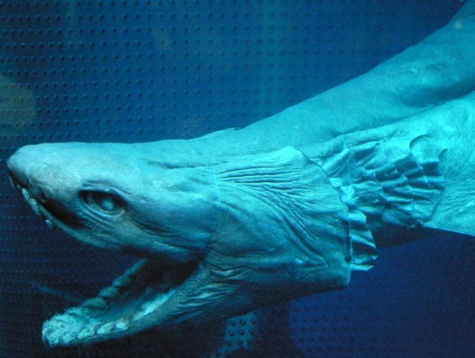 Investigadores atrapan por error a tiburón de la era de los dinosaurios
