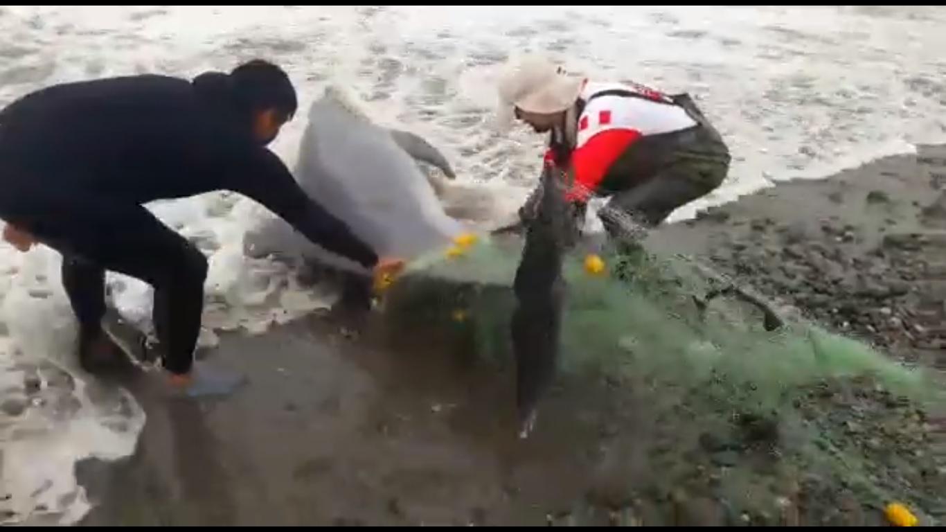 Admirable acción de tres hombres que liberan delfín atrapado en red de pescar