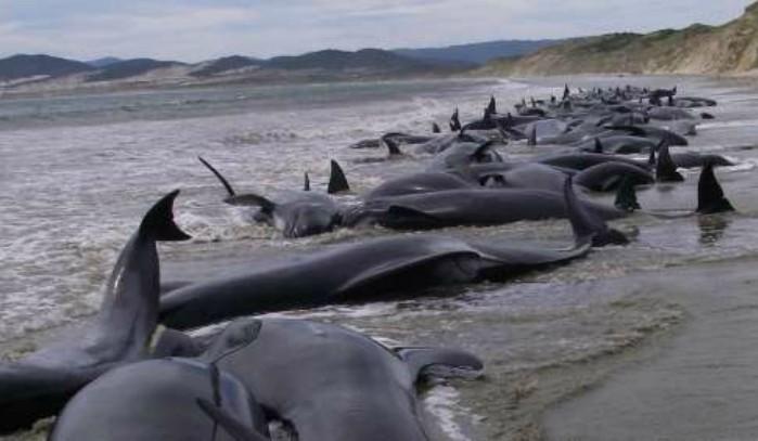 Más de 150 ballenas piloto vararon en una playa de Australia