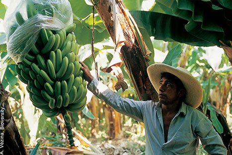 Fabrican bolsas a base plátano para luchar contra el plástico