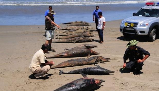 Lobos Marinos y delfines son hallados muertos en playa de Lambayeque