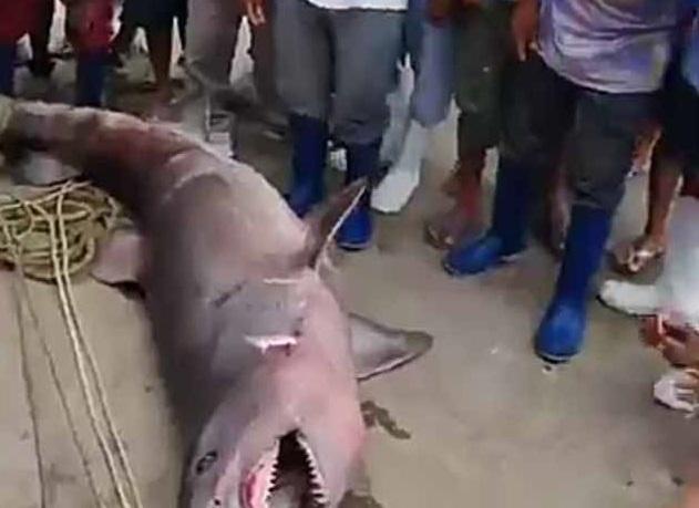 Piura: Tiburón hallado por pescadores genera desconcierto