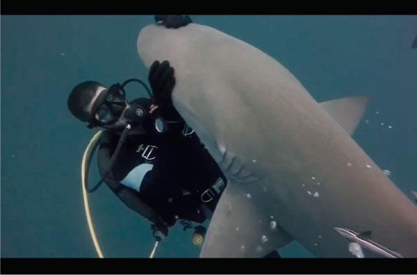 Blondie, el tiburón que busca caricias