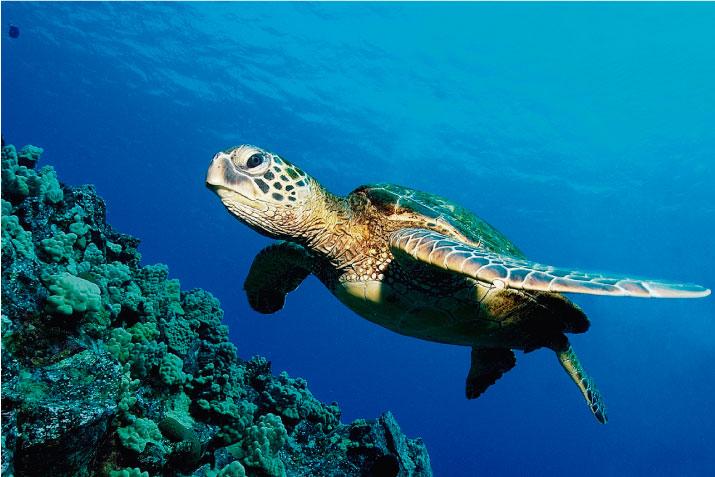 ¿Sabes por qué las tortugas marinas son importantes para el ecosistema del océano?