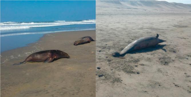Lobos Marinos y delfines comienzan a morir en la costa norte del Perú