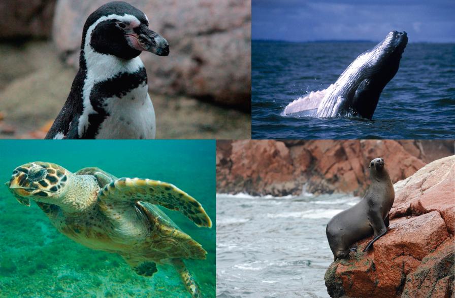 4 animales marinos del Perú en peligro de extinción
